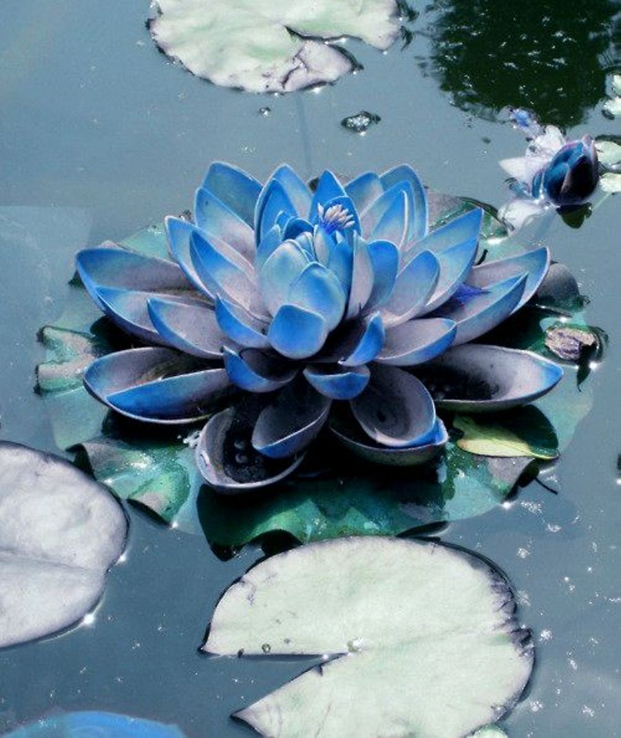 Blue lotus flower extract aphrodisiac enhance relax rest organic jubilee wellness gladly guarantees that our products are handcrafted in the traditional standards passed down through generations of herbal doctors and folk izmirmasajfo